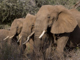 Elephants in Samburu National Park Photographic Print by Michael Nichols