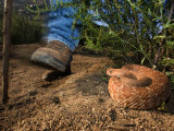 Hiker's Foot Passing a Large Coiled Red Diamondback Rattlesnake Photographic Print by Roy Toft