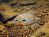 Bluegill Sunfish Swimming Near the Bottom of a Clear Mountain Creek Photographic Print by George Grall