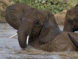 Juvenile Elephants Play During a River Crossing Photographic Print by Michael Nichols