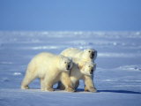 Polar Bear (Ursus Maritimus). High Arctic, Nunavut Photographic Print by Nick Norman