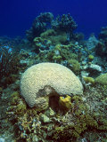 Underwater Caribbean Reefscape with Brain and Other Corals Photographie par George Grall