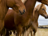 Group of Icelandic Horses Photographic Print by Mattias Klum