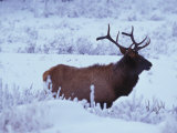Elk, or Wapiti in a Snow Covered Landscape Photographic Print by Nick Norman