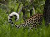 Leopard's Tail Visible as the Animal Passes Behind a Tree Photographic Print by Beverly Joubert