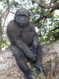 Young Gorilla Sitting on a Log Photographic Print by Michael Polzia