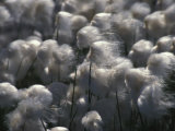 Detail of Arctic Cotton Grass Photographic Print by Nick Norman