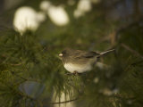 Dark-Eyed Junco in a Pine Tree Photographic Print by Tim Laman