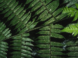 Detail of a Fern Photographic Print by Nick Norman