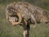 Preening Female Ostrich in Samburu National Reserve Photographic Print by Michael Nichols