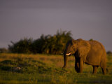 African Elephant Walking Through Grasslands Photographic Print by Beverly Joubert