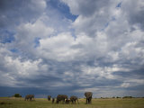 Herd of African Elephants Grazing Grasslands under Cloud-Filled Sky Photographic Print by Beverly Joubert