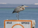 Great Blue Heron Standing on a Boating Sign Photographic Print by Marc Moritsch