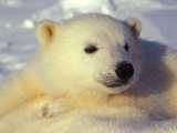 Three Month Old Polar Bear Cub Photographic Print by Nick Norman