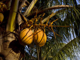 Ripening Coconuts in the Top of a Coconut Palm Tree Photographic Print by Mattias Klum