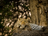 Leopard Resting on a Large Tree Limb Photographic Print by Beverly Joubert