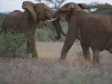 Pair of Elephants Fighting Photographic Print by Michael Nichols