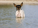 Portrait Rat Terrier Dog Standing in the Water Looking at the Camera Photographic Print by Karine Aigner