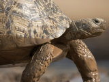 Leopard Tortoise Wet from a Mud Puddle Photographic Print by Michael Nichols