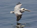 Brown Pelican in Flight, Low over Water Fotografisk tryk af Marc Moritsch