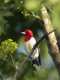 Red-Headed Woodpecker Perched on a Tree Branch Photographic Print by George Grall