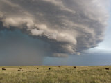 Thunderstorm Turns into a Gustfront over Field Full of Cows Photographic Print by Mike Theiss