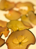 Close-up of Backlit Dried Apple Slices Photographic Print by Phil Schermeister