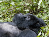 Portrait of a Resting Mountain Gorilla Belonging to Group 13 Photographic Print by Michael Polzia