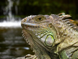 Green Iguana Relaxes Next to a Waterfall Photographic Print by Brooke Whatnall