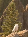 Baby Mountain Goat Stands on Rock Formations in Custer State Park Photographic Print by Phil Schermeister