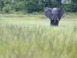 Feeding Elephant in the Grass with Ears Extended Photographic Print by Karine Aigner