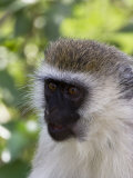 Vervet Monkey in Samburu National Reserve Photographic Print by Michael Nichols