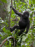 Juvenile Male Western Lowland Gorilla Shaking a Tree Branch Photographic Print by Ian Nichols