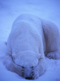 Polar Bear in the Snow Photographic Print by Nick Norman