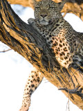 Leopard in a Tree Photographic Print by Michael Polzia