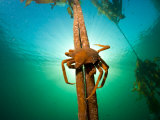 Northern Kelp Crab, Pugettia Producta, Clinging to a Kelp Stalk Photographie par Paul Nicklen