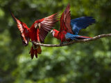 Pair of Scarlet Macaws on a Tree Limb, Interacting Photographic Print by Mattias Klum
