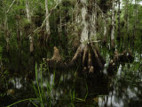 Cypress Trees in the Everglades Photographic Print by Raul Touzon