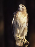 Portrait of a Rehabilitated Captive Red-Tail Hawk Photographic Print by Paul Sutherland