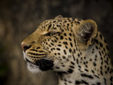 Profile Portrait of a Leopard Photographic Print by Beverly Joubert
