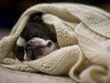 Boston Terrier Sleeps in a White Blanket on the Floor Photographic Print by Hannele Lahti