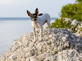 Portrait of Rat Terrier Dog Standing on Rocks by the Water Photographic Print by Karine Aigner
