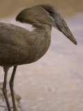 Hammerkop Bird in Samburu National Reserve Photographic Print by Michael Nichols