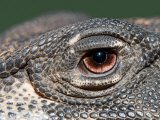 Close Up of the Eye of a Lace Monitor Photographic Print by Brooke Whatnall