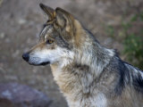 Mexican Grey Wolf in an Enclosure at the Arizona-Sonora Desert Museum Photographic Print by Scott Warren
