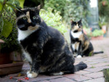 Colorful Pair of Calico Cats on the Brick Sidewalk Photographic Print by Stephen St. John