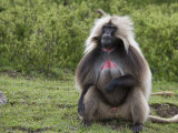 Male Gelada Baboon (Therapithecus Gelada) Photographic Print by Michael Polzia