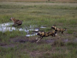 Wild Cape Hunting Dogs Chasing Spotted Hyena in Flooded Grassland Photographic Print by Roy Toft