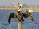 Brown Pelican Perched on a Pier Piling Photographic Print by Marc Moritsch