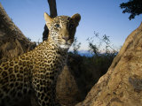 Remote Camera Captures a Leopard Photographic Print by Michael Nichols